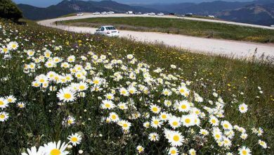 Photo of دشت گلهای بابونه در شهرستان نمین استان اردبیل