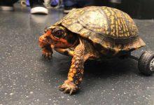 Photo of لاکپشتی که با ویلچر راه میرود !!