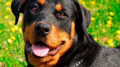 Photo of آشنایی با سگ روت وایلر Rottweiler