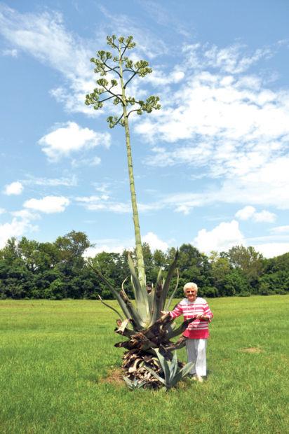 گیاه آگاو امریکانا
