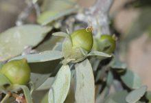 Photo of درختچه جوجوبا