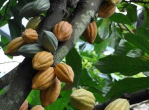 Photo of درخت کاکائو