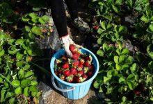Photo of گزارش تصویری برداشت توت فرنگی از مزارع شمال کشور