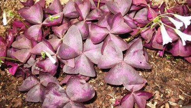 Photo of گیاه اکسالیس