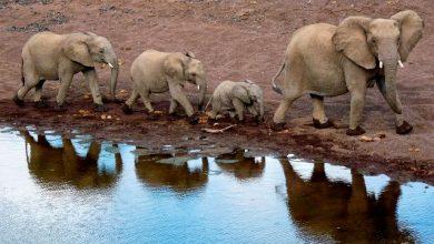 Photo of فیلها حیواناتی عظیمالجثه