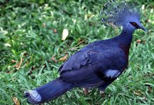 Photo of کبوتر آبی زیبای تاجدار