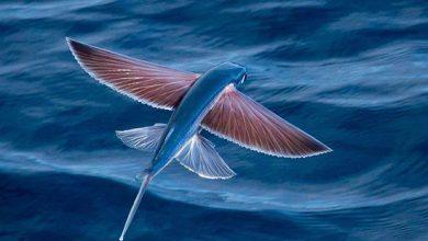 Photo of ماهیهایی که پرواز میکنند؟