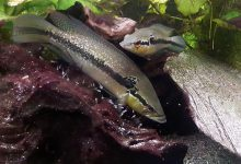 Photo of آشنایی با ماهی سیچلاید اردکی