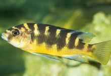 Photo of آشنایی ماهی سیچلاید زنبوری