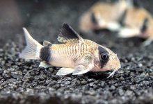 Photo of آشنایی با ماهی کوریدوراس