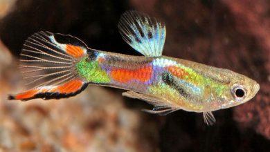 Photo of آشنایی با ماهی گوپی