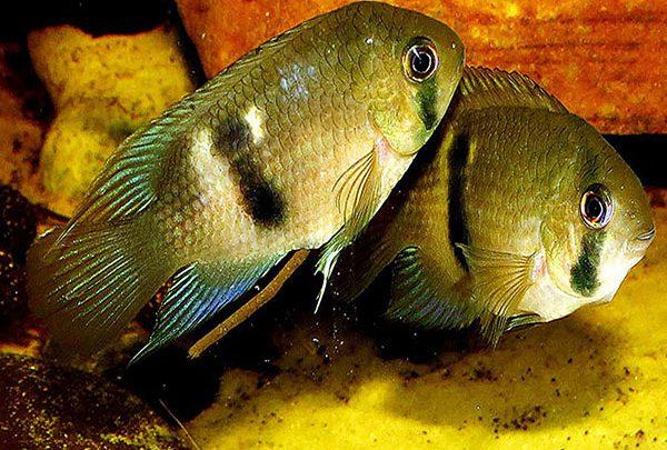 Photo of ماهی سیچلاید سوراخ کلیدی