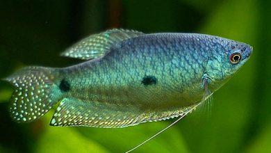 Photo of ماهی گورامی مرمری