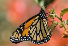 Photo of حرکت گروهی پروانه ها از آمریکا به مکزیک
