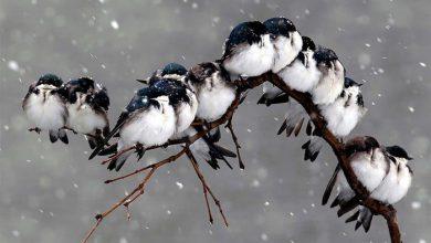 Photo of مجموعه تصاویر پرندگان در فصل سرما