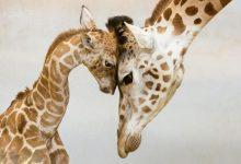 Photo of تصاویر زیبا از نقش خانواده در حیوانات