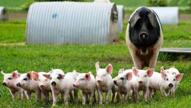 Photo of تفاوت خوک و گراز چیست؟