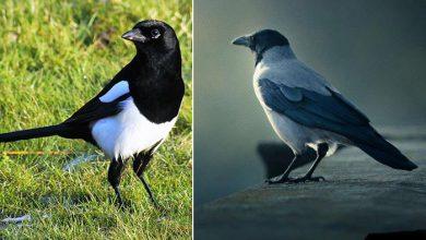 Photo of کلاغ و زاغ چه فرقی با هم دارند