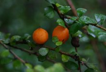 Photo of درخت پرتقال خاردار