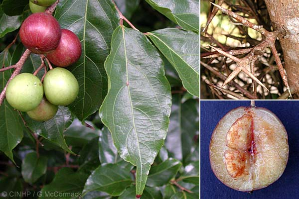 Photo of درخت آلوی هندی