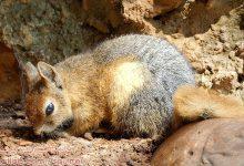 Photo of سنجاب ایرانی