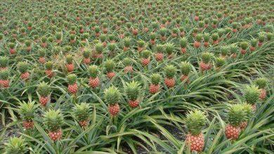Photo of درباره گیاه آناناس بیشتر بدانید